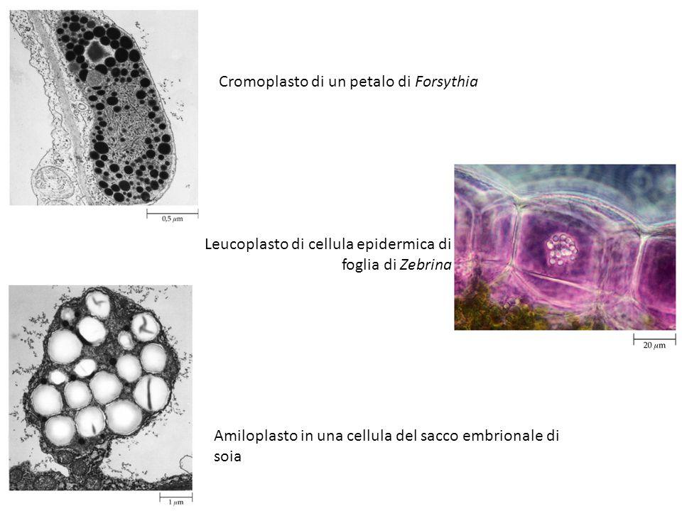 Ciclo di sviluppo dei plastidi, a partire dallo sviluppo di un cloroplasto da un proplastidio.