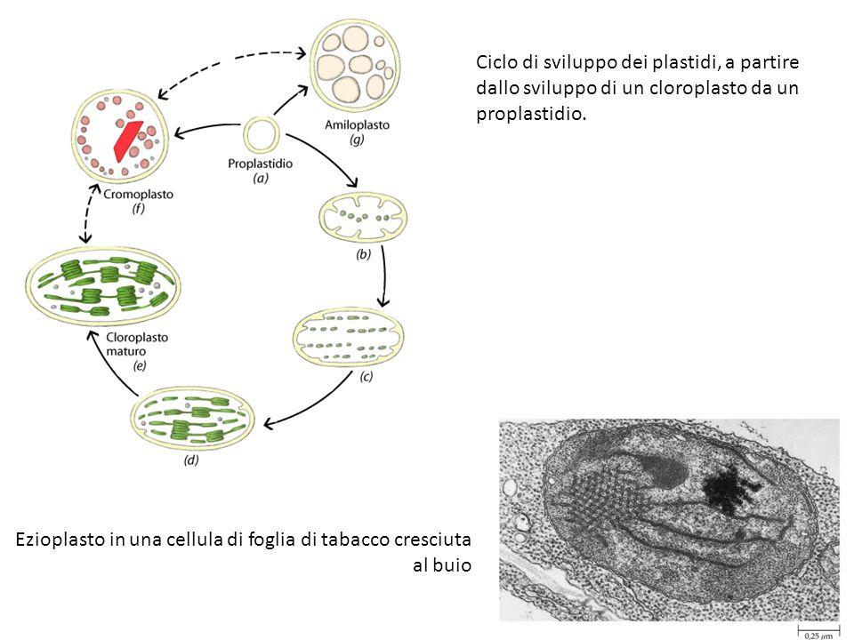 Ciclo di sviluppo dei plastidi, a partire dallo sviluppo di un cloroplasto da un proplastidio. Ezioplasto in una cellula di foglia di tabacco cresciut