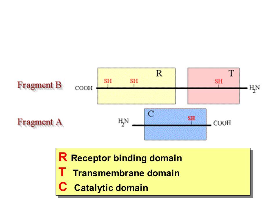 R Receptor binding domain T Transmembrane domain C Catalytic domain
