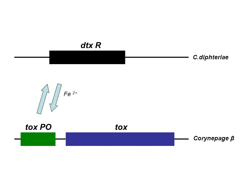 dtx R C.diphteriae tox POtox Corynepage β Fe 2+