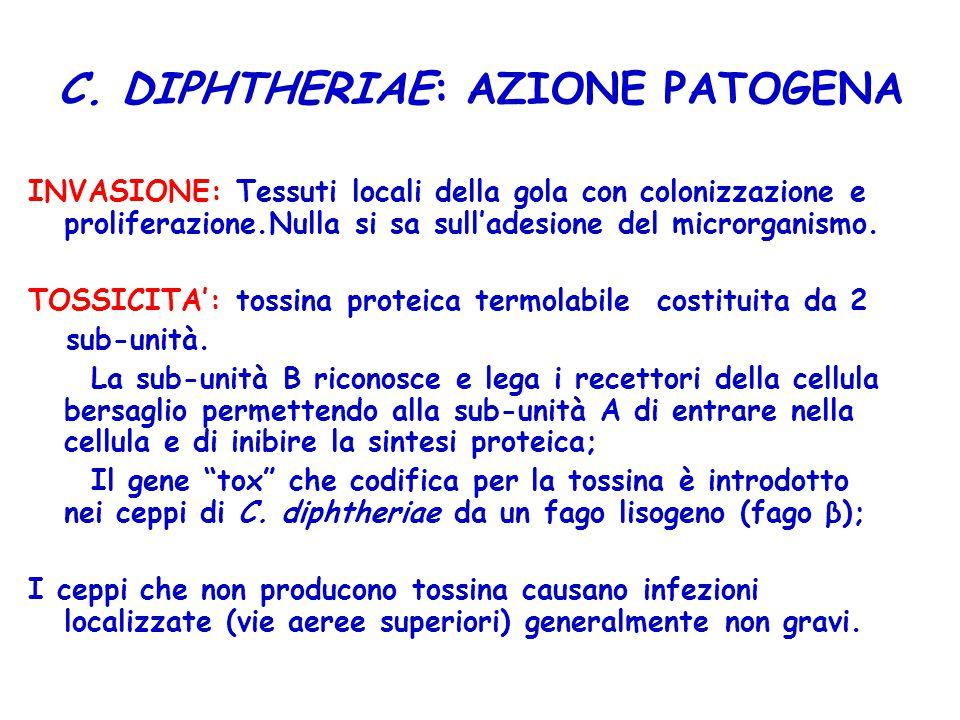 C. DIPHTHERIAE: AZIONE PATOGENA INVASIONE: Tessuti locali della gola con colonizzazione e proliferazione.Nulla si sa sull'adesione del microrganismo.