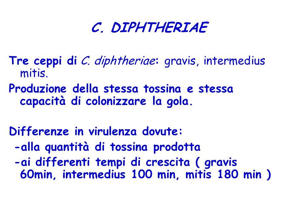 C. DIPHTHERIAE Tre ceppi di C. diphtheriae: gravis, intermedius mitis. Produzione della stessa tossina e stessa capacità di colonizzare la gola. Diffe