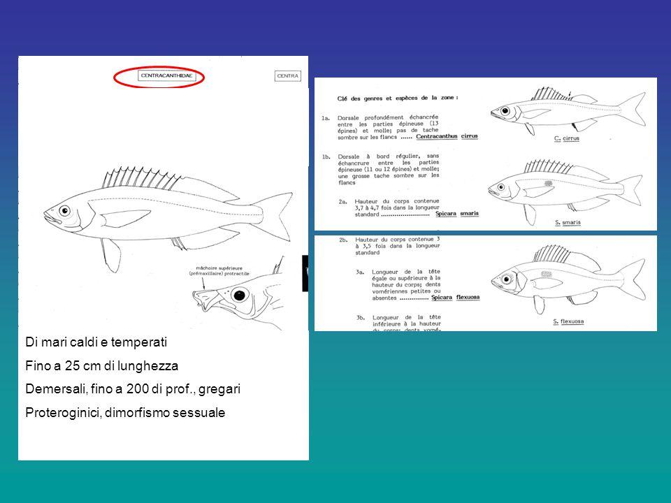 Di mari caldi e temperati Fino a 25 cm di lunghezza Demersali, fino a 200 di prof., gregari Proteroginici, dimorfismo sessuale