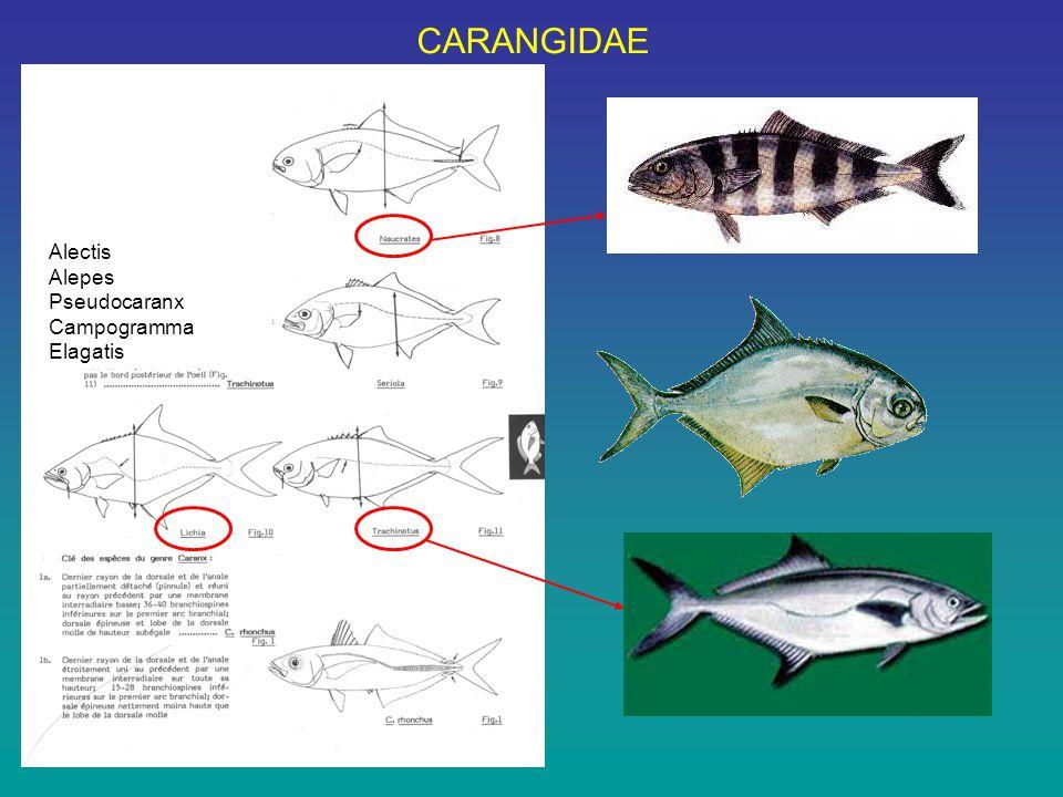 CARANGIDAE Alectis Alepes Pseudocaranx Campogramma Elagatis