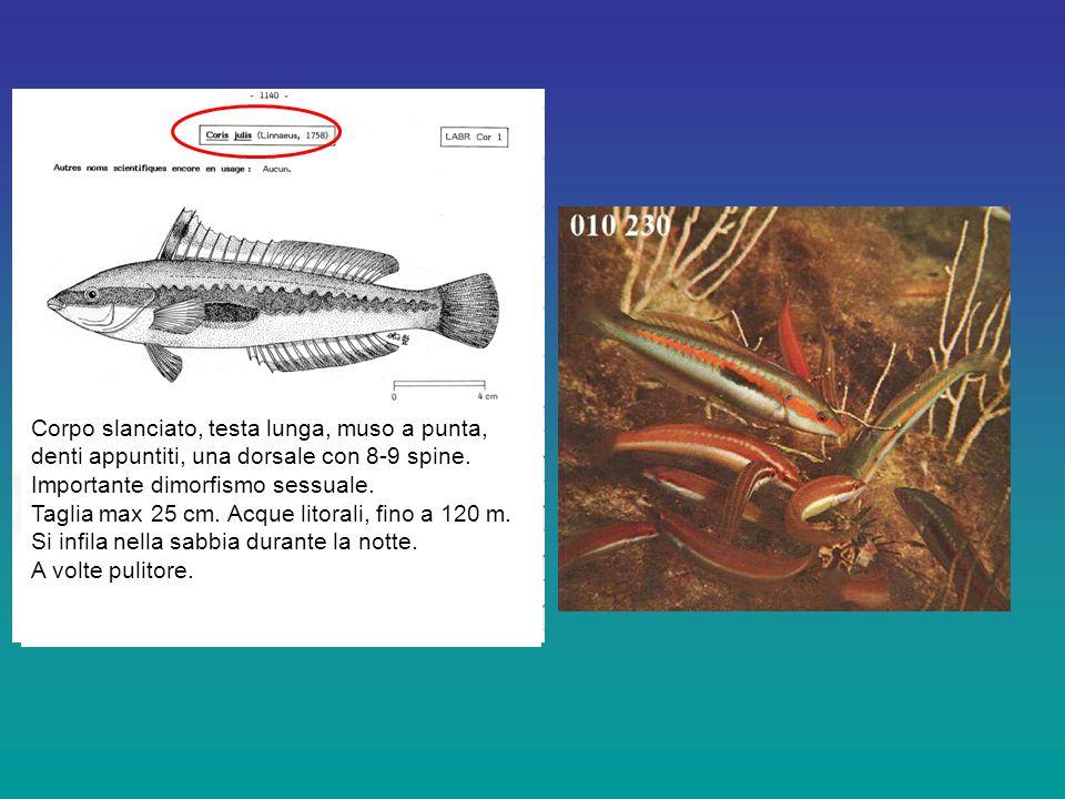 Corpo slanciato, testa lunga, muso a punta, denti appuntiti, una dorsale con 8-9 spine.