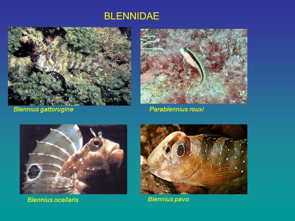 BLENNIDAE Blennius gattorugine Blennius ocellaris Parablennius rouxi Blennius pavo