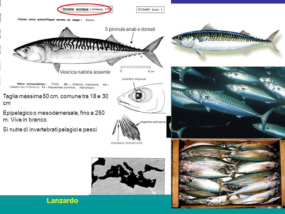 Taglia massima 50 cm, comune tra 18 e 30 cm Epipelagico o mesodemersale, fino a 250 m.