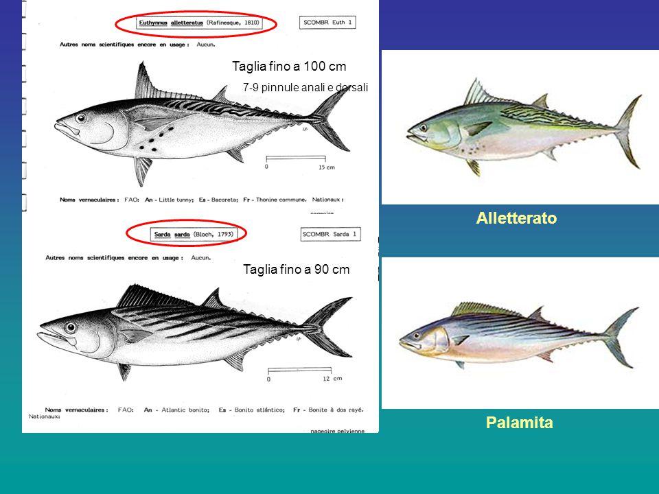 Taglia fino a 100 cm Taglia fino a 90 cm 7-9 pinnule anali e dorsali Palamita Alletterato