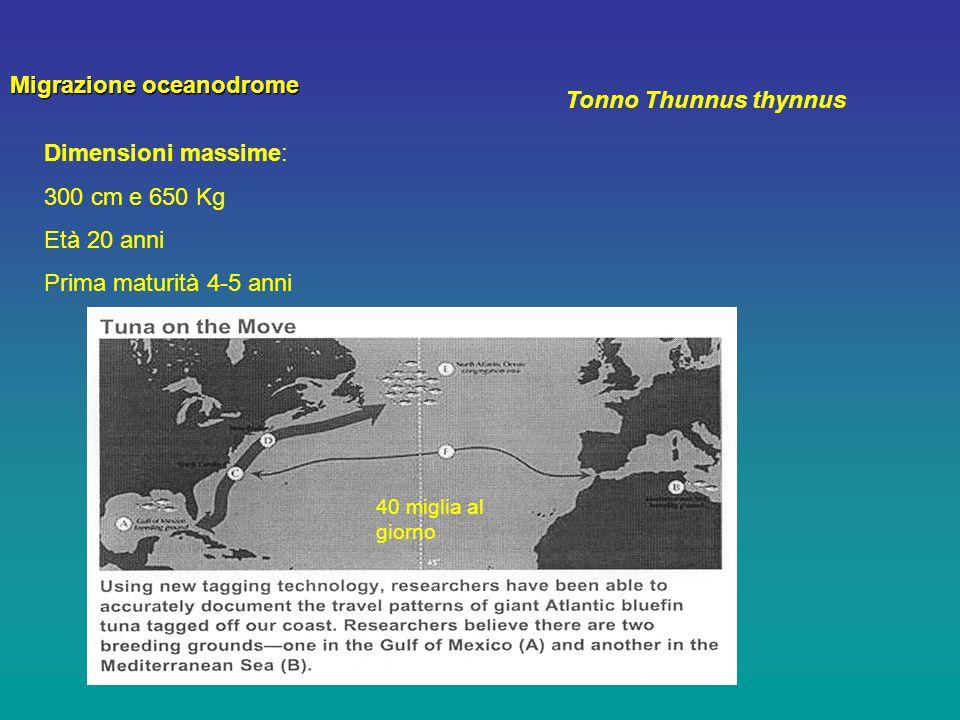 Tonno Thunnus thynnus Dimensioni massime: 300 cm e 650 Kg Età 20 anni Prima maturità 4-5 anni Migrazione oceanodrome 40 miglia al giorno