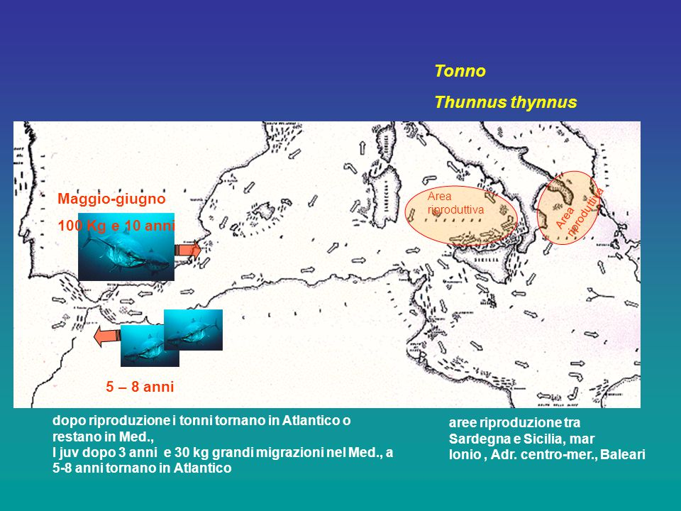 Tonno Thunnus thynnus Area riproduttiva Maggio-giugno 100 Kg e 10 anni 5 – 8 anni aree riproduzione tra Sardegna e Sicilia, mar Ionio, Adr.