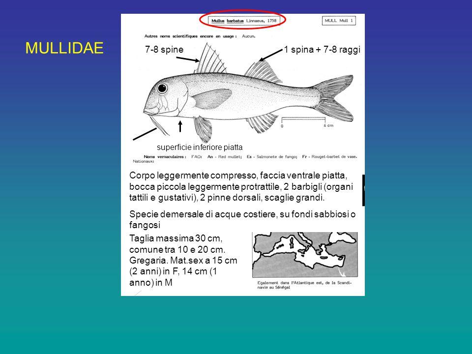 MULLIDAE 7-8 spine1 spina + 7-8 raggi superficie inferiore piatta Corpo leggermente compresso, faccia ventrale piatta, bocca piccola leggermente protrattile, 2 barbigli (organi tattili e gustativi), 2 pinne dorsali, scaglie grandi.
