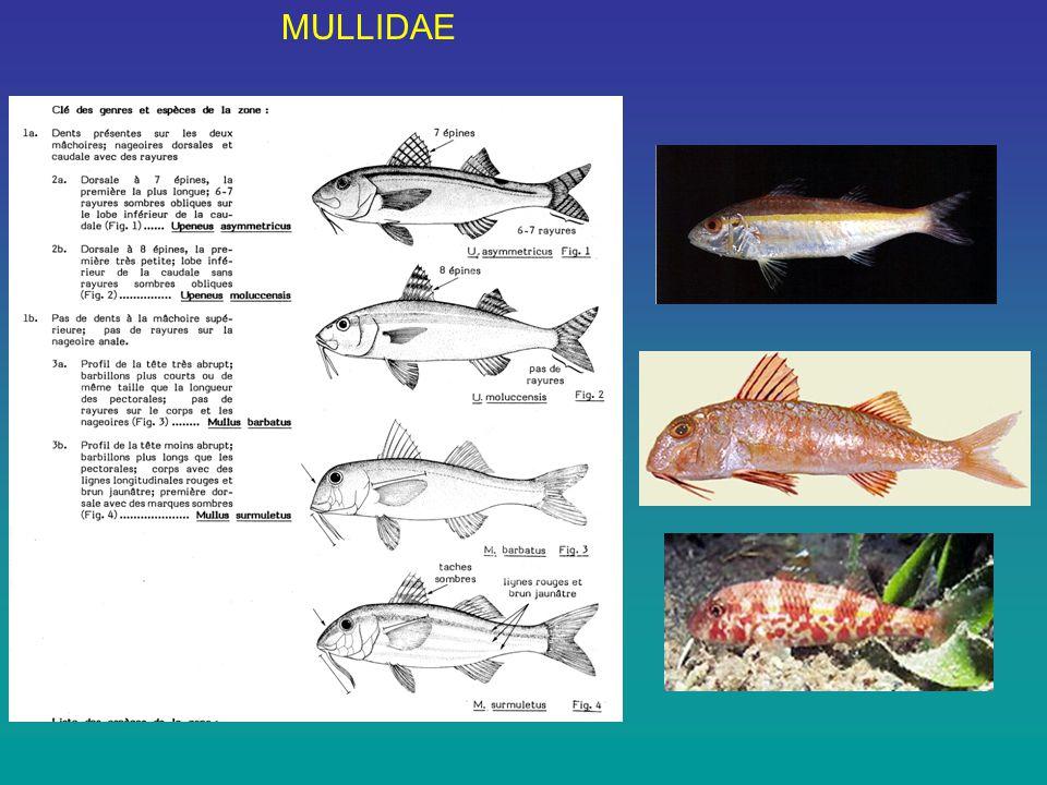 MULLIDAE