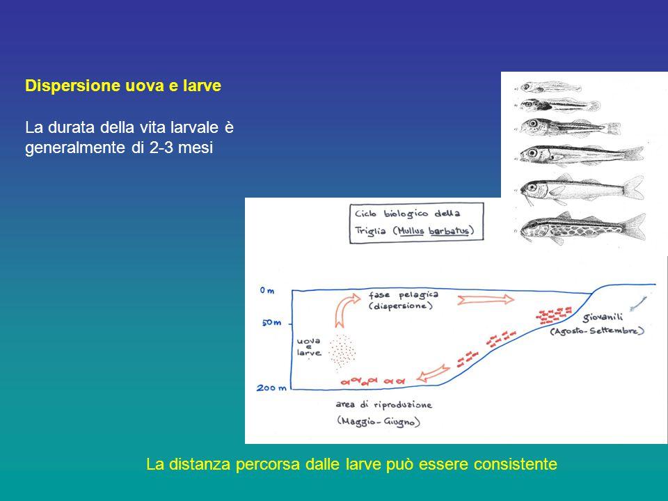 Dispersione uova e larve La durata della vita larvale è generalmente di 2-3 mesi La distanza percorsa dalle larve può essere consistente