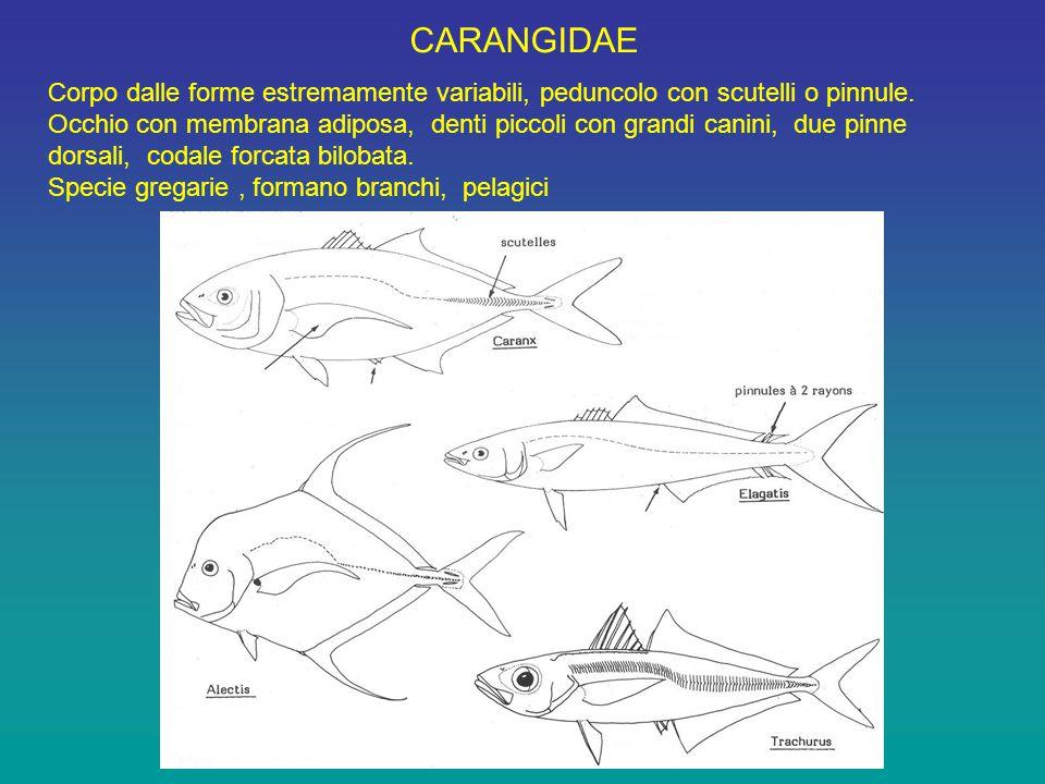 CARANGIDAE Corpo dalle forme estremamente variabili, peduncolo con scutelli o pinnule.