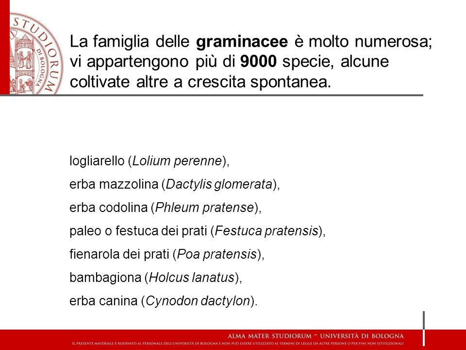 logliarello (Lolium perenne), erba mazzolina (Dactylis glomerata), erba codolina (Phleum pratense), paleo o festuca dei prati (Festuca pratensis), fie