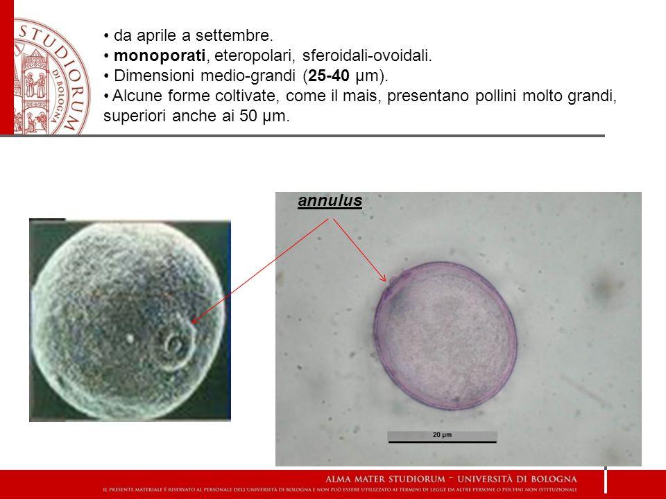 da aprile a settembre. monoporati, eteropolari, sferoidali-ovoidali. Dimensioni medio-grandi (25-40 µm). Alcune forme coltivate, come il mais, present