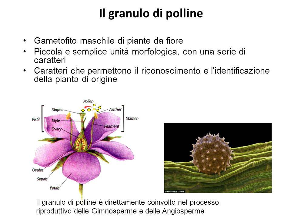 Il granulo di polline Gametofito maschile di piante da fiore Piccola e semplice unità morfologica, con una serie di caratteri Caratteri che permettono il riconoscimento e l identificazione della pianta di origine Il granulo di polline è direttamente coinvolto nel processo riproduttivo delle Gimnosperme e delle Angiosperme