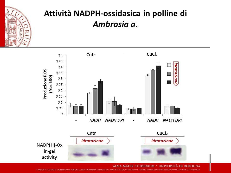 Cntr CuCl 2 Idratazione CntrCuCl 2 NADP(H)-Ox in-gel activity Idratazione Attività NADPH-ossidasica in polline di Ambrosia a.