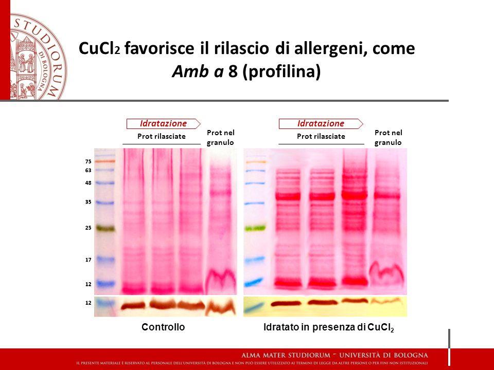 CuCl 2 favorisce il rilascio di allergeni, come Amb a 8 (profilina) Idratazione Prot rilasciate Prot nel granulo Idratato in presenza di CuCl 2 Controllo