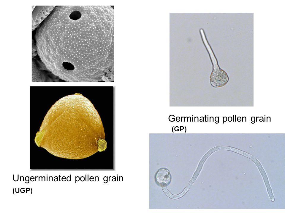 Sintesi di ROS in polline di Ambrosia a. trattato con rame *** Area rurale Area urbana