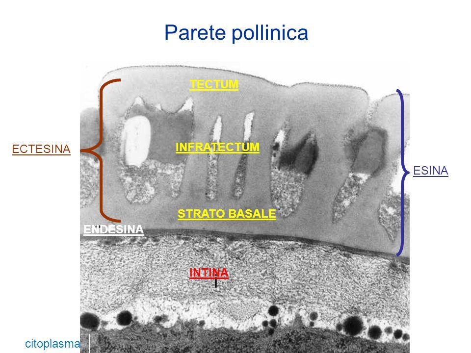 Nome Attivita' (vedi allergeni molecolari) Via di sensibilizzazione Cyn d 1Gruppo 1 delle Graminacee (Espansine)Inalazione Cyn d 4Gruppo 4 delle Graminacee (Berberine bridge enzyme)Inalazione Cyn d 5Gruppo 5 delle Graminacee (Ribonucleasi)Inalazione Cyn d 7Calcium-binding proteins (Polcalcine)Inalazione Cyn d 12Actin-binding proteins (Profiline)Inalazione Cyn d 13Gruppo 13 delle Graminacee (Poligatturonasi)Inalazione PRINCIPALI ALLERGENI IDENTIFICATI (da www.allergome.org)www.allergome.org POLLINE Presenza del polline : GIUGNO - OTTOBRE Allergenicità del polline: ELEVATA