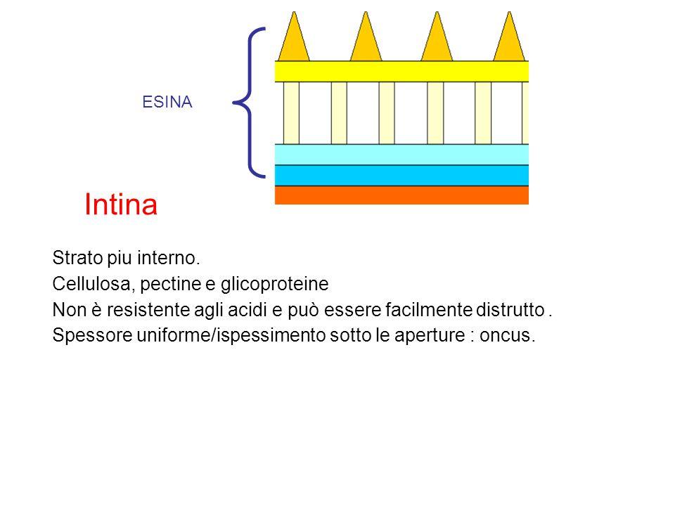 ESINA Strato piu interno. Cellulosa, pectine e glicoproteine Non è resistente agli acidi e può essere facilmente distrutto. Spessore uniforme/ispessim