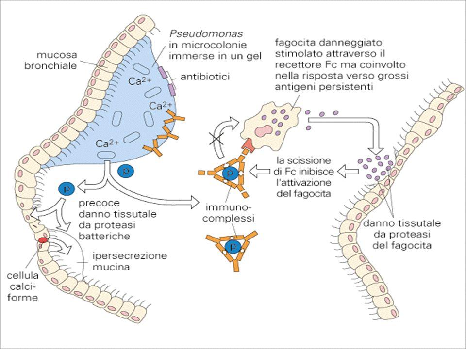 Pseudomonas aeruginosa Fattori di virulenza: Esoenzimi Elastasi Degradano l'elastina con danno al parenchima polmonare e lesioni emorragiche.