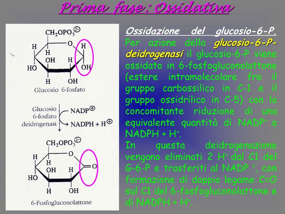 Prima fase : Ossidativa glucosio-6-P- deidrogenasi Ossidazione del glucosio-6-P.