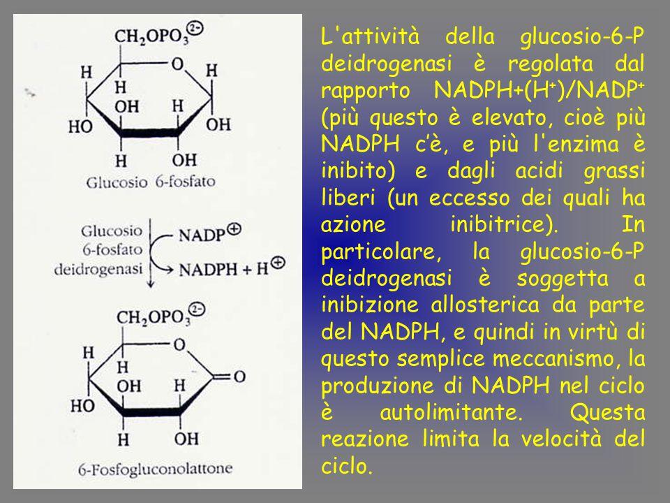 L attività della glucosio-6-P deidrogenasi è regolata dal rapporto NADPH+(H + )/NADP + (più questo è elevato, cioè più NADPH c'è, e più l enzima è inibito) e dagli acidi grassi liberi (un eccesso dei quali ha azione inibitrice).