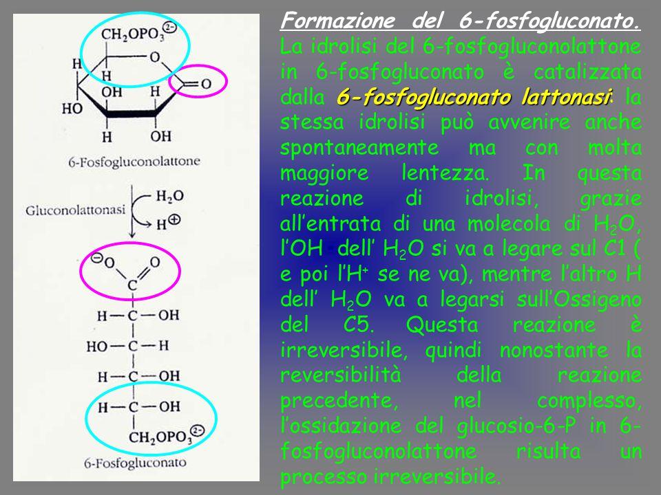 6-fosfogluconato lattonasi Formazione del 6-fosfogluconato.