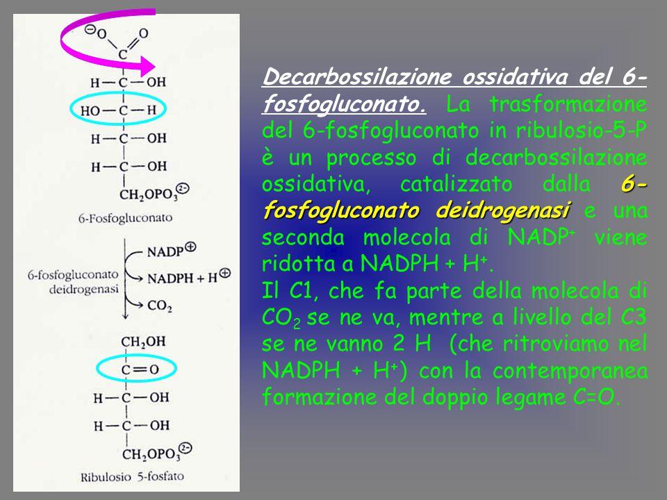 6- fosfogluconato deidrogenasi Decarbossilazione ossidativa del 6- fosfogluconato.