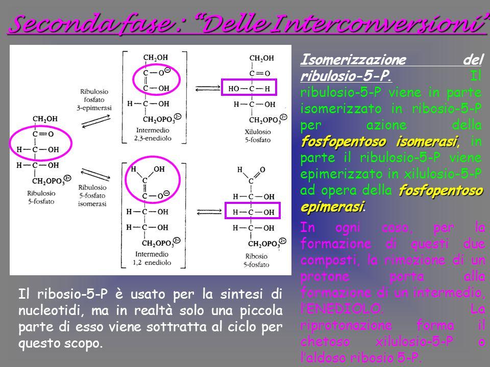 Seconda fase : Delle Interconversioni In ogni caso, per la formazione di questi due composti, la rimozione di un protone porta alla formazione di un intermedio, l'ENEDIOLO.