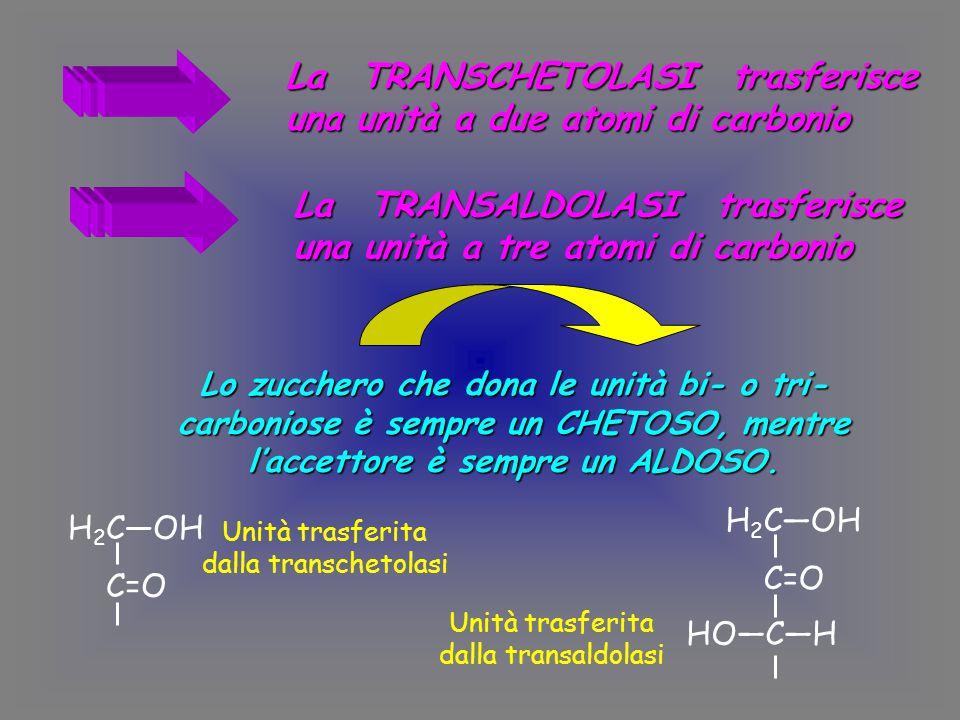 La TRANSCHETOLASI trasferisce una unità a due atomi di carbonio La TRANSALDOLASI trasferisce una unità a tre atomi di carbonio Lo zucchero che dona le unità bi- o tri- carboniose è sempre un CHETOSO, mentre l'accettore è sempre un ALDOSO.
