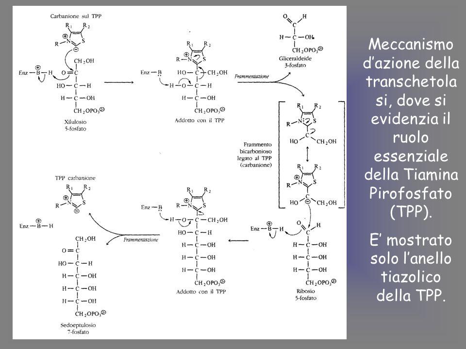 Meccanismo d'azione della transchetola si, dove si evidenzia il ruolo essenziale della Tiamina Pirofosfato (TPP).