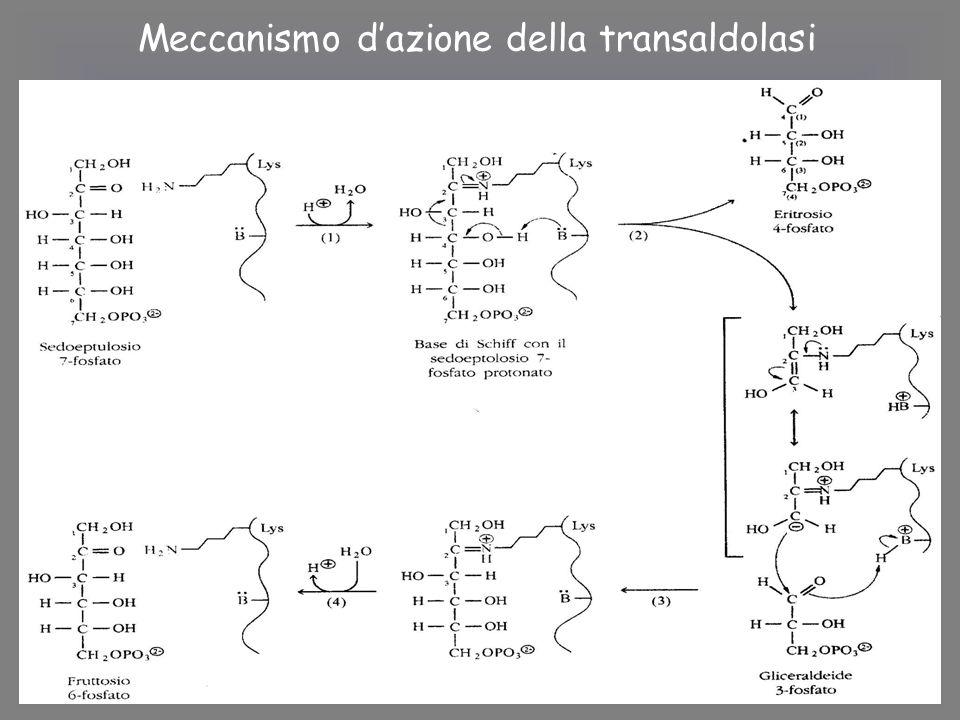 Meccanismo d'azione della transaldolasi