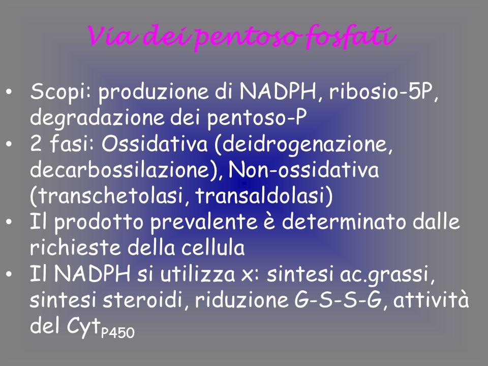 Via dei pentoso fosfati Scopi: produzione di NADPH, ribosio-5P, degradazione dei pentoso-P 2 fasi: Ossidativa (deidrogenazione, decarbossilazione), Non-ossidativa (transchetolasi, transaldolasi) Il prodotto prevalente è determinato dalle richieste della cellula Il NADPH si utilizza x: sintesi ac.grassi, sintesi steroidi, riduzione G-S-S-G, attività del Cyt P450