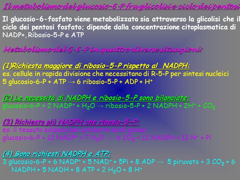 Il metabolismo del glucosio-6-P fra glicolisi e ciclo dei pentosi Il glucosio-6-fosfato viene metabolizzato sia attraverso la glicolisi che il ciclo dei pentosi fosfato; dipende dalla concentrazione citoplasmatica di NADP+, Ribosio-5-P e ATP Metabolismo del G-6-P in quattro diverse situazioni: (1)Richiesta maggiore di ribosio-5-P rispetto al NADPH: es.
