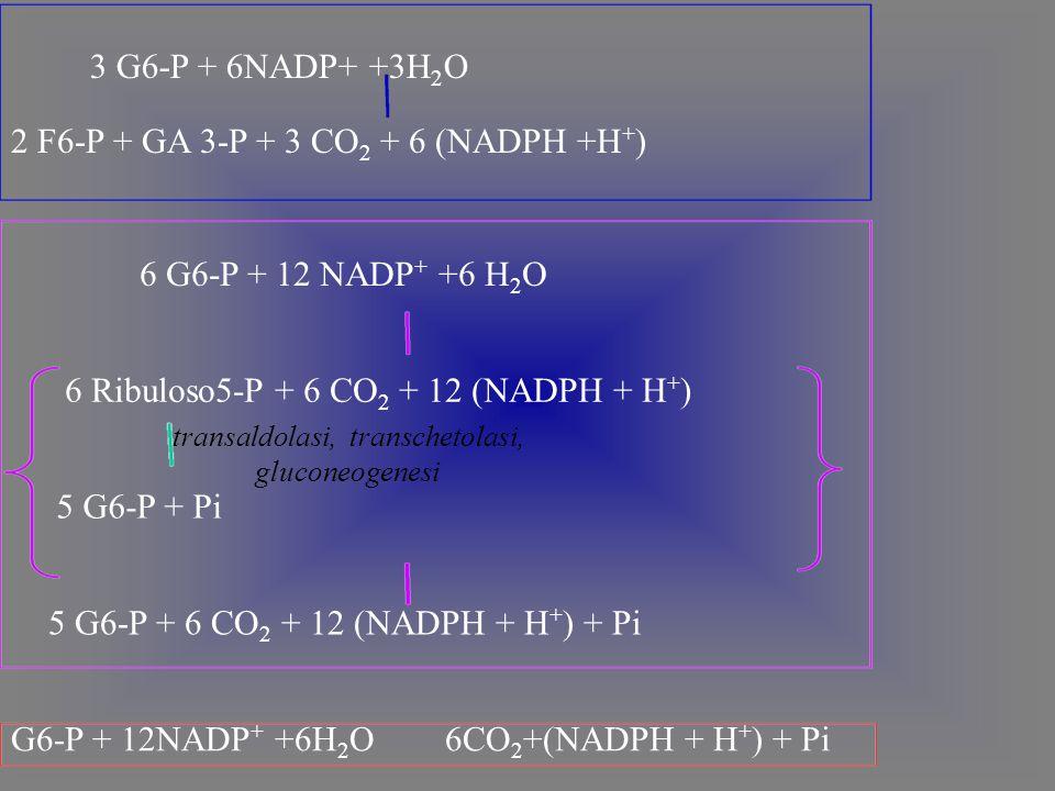 2 F6-P + GA 3-P + 3 CO 2 + 6 (NADPH +H + ) 6 G6-P + 12 NADP + +6 H 2 O 6 Ribuloso5-P + 6 CO 2 + 12 (NADPH + H + ) transaldolasi, transchetolasi, gluconeogenesi 5 G6-P + Pi 5 G6-P + 6 CO 2 + 12 (NADPH + H + ) + Pi 3 G6-P + 6NADP+ +3H 2 O G6-P + 12NADP + +6H 2 O 6CO 2 +(NADPH + H + ) + Pi