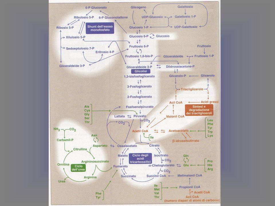 La trasformazione di 6 molecole di glucosio-6-P nel ciclo dei pentosi fosfati implica il seguente bilancio: 1) 6 glucosio-6-P + 12 NADP + + 6 H 2 O → 4 fruttosio-6-P + 2 aldeide 3-P-glicerica + 6 CO 2 + 12 NADPH(H + ) Considerando che il fruttosio-6-P è in equilibrio con il glucosio-6-P e che 2 molecole di aldeide 3-P-glicerica possono formare 1 molecola di fruttosio-6-P e quindi di glucosio-6-P (gluconeogenesi), la precedente reazione è omologabile alla seguente: 2) 6 glucosio-6-P + 12 NADP + + 7 H 2 0 → 5 glucosio-6-P + 6 CO 2 + 12 NADPH(H + ) + Pi Sopprimendo i termini comuni si ottiene: 3) glucosio-6-P + 12 NADP + + 7 H 2 O → 6 CO 2 + 12 NADPH(H + ) + Pi Bilancio e regolazione del ciclo dei pentosi fostati