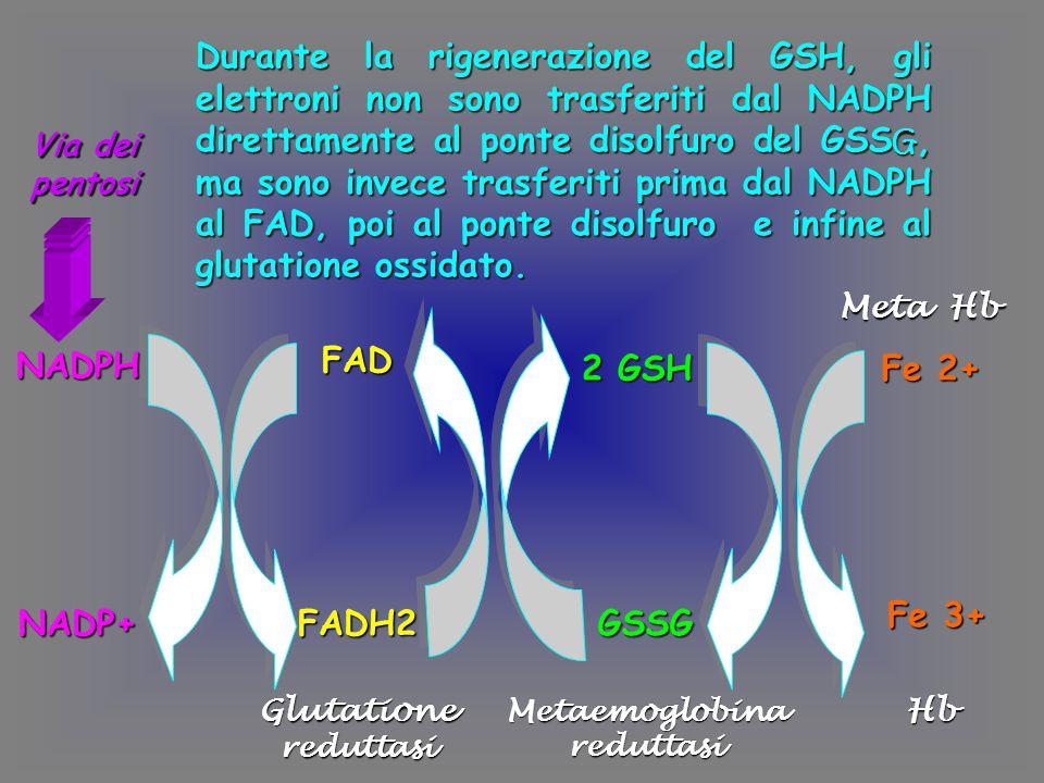 NADPH NADP+ FAD FADH2 2 GSH GSSG Fe 2+ Fe 3+ Glutatione reduttasi Metaemoglobina reduttasi Hb Meta Hb Durante la rigenerazione del GSH, gli elettroni non sono trasferiti dal NADPH direttamente al ponte disolfuro del GSS G, ma sono invece trasferiti prima dal NADPH al FAD, poi al ponte disolfuro e infine al glutatione ossidato.