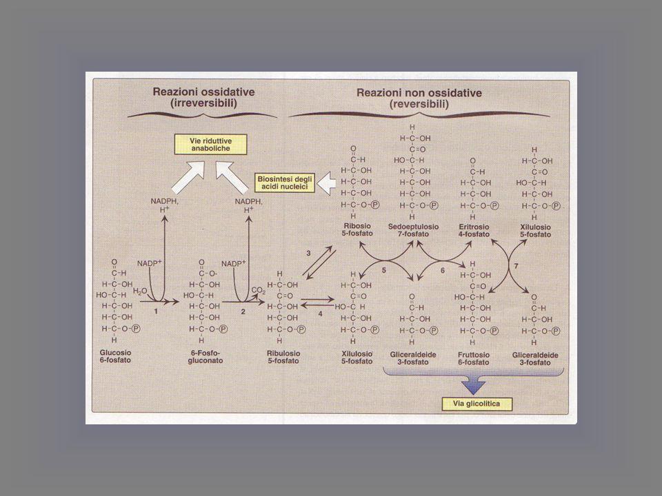 glutatione reduttasi Il glutatione è mantenuto allo stato ridotto GSH, dall'enzima glutatione reduttasi che nei globuli rossi utilizza il NADPH formato dal ciclo dei pentosi.