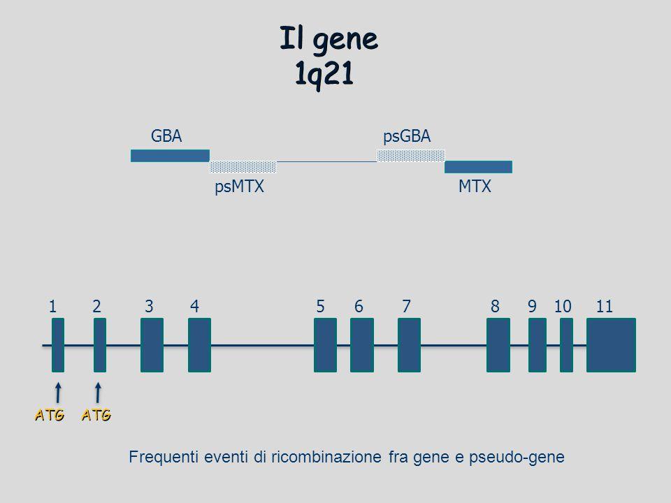 Il gene 1q21 GBApsGBA psMTXMTX 1543728691011 ATGATG Frequenti eventi di ricombinazione fra gene e pseudo-gene