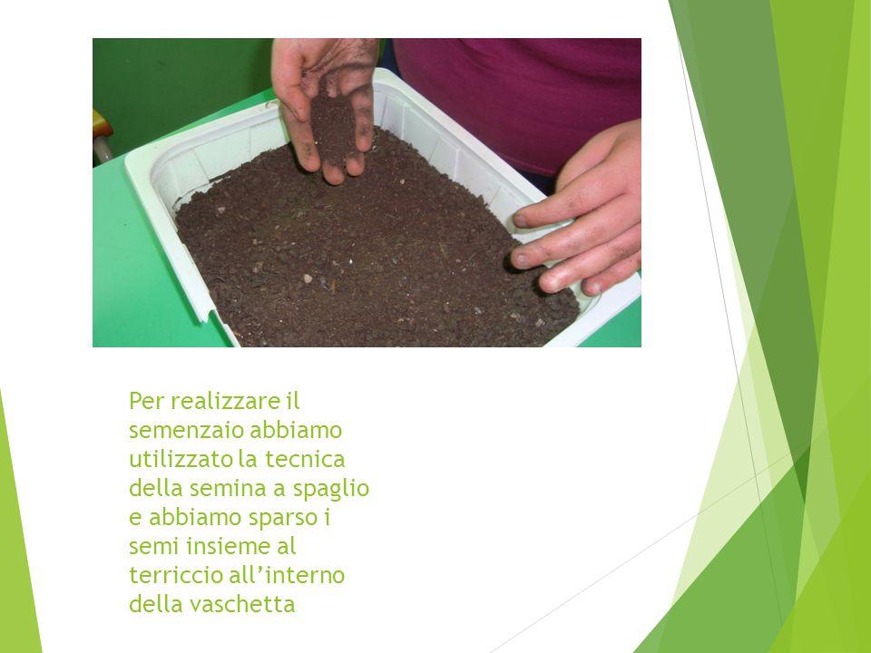 Per realizzare il semenzaio abbiamo utilizzato la tecnica della semina a spaglio e abbiamo sparso i semi insieme al terriccio all'interno della vaschetta