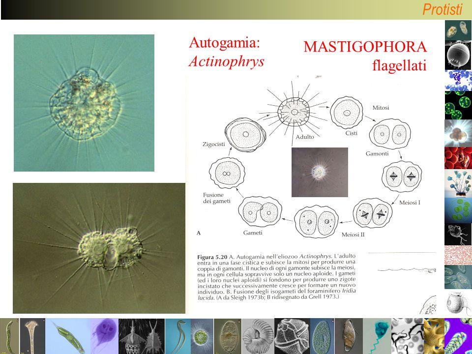Protisti MASTIGOPHORA flagellati Autogamia: Actinophrys