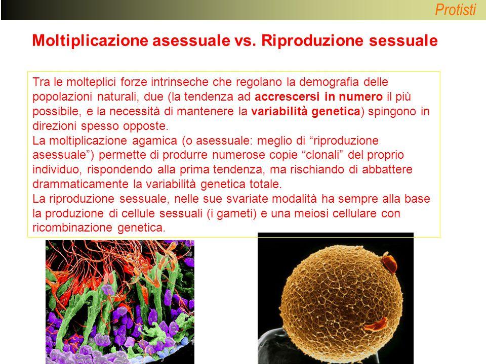 Protisti Moltiplicazione asessuale vs. Riproduzione sessuale Tra le molteplici forze intrinseche che regolano la demografia delle popolazioni naturali