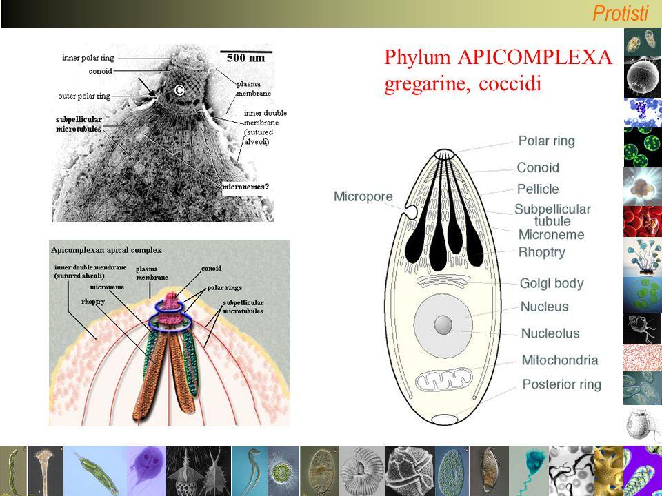 Protisti Phylum APICOMPLEXA gregarine, coccidi