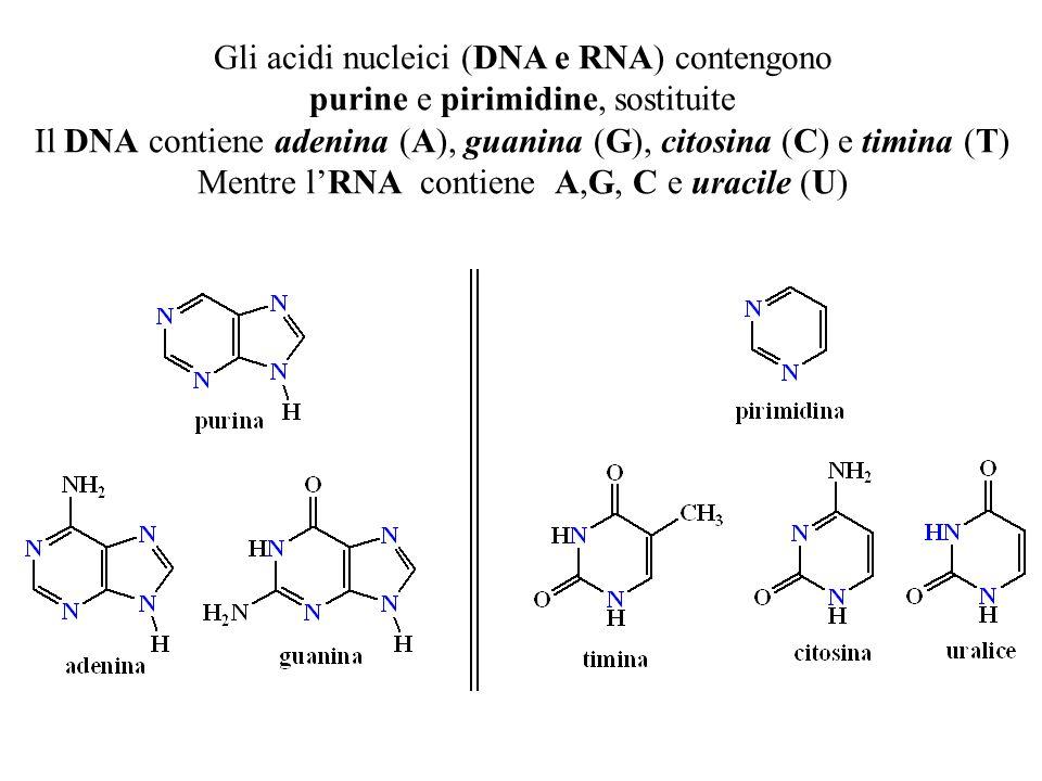 Gli acidi nucleici (DNA e RNA) contengono purine e pirimidine, sostituite Il DNA contiene adenina (A), guanina (G), citosina (C) e timina (T) Mentre l'RNA contiene A,G, C e uracile (U)