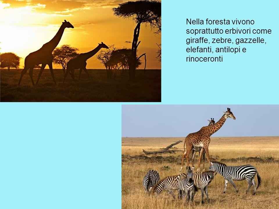 Nella foresta vivono soprattutto erbivori come giraffe, zebre, gazzelle, elefanti, antilopi e rinoceronti