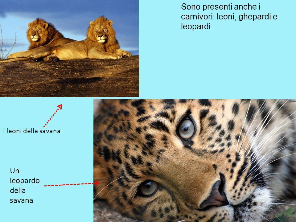 Sono presenti anche i carnivori: leoni, ghepardi e leopardi. I leoni della savana Un leopardo della savana