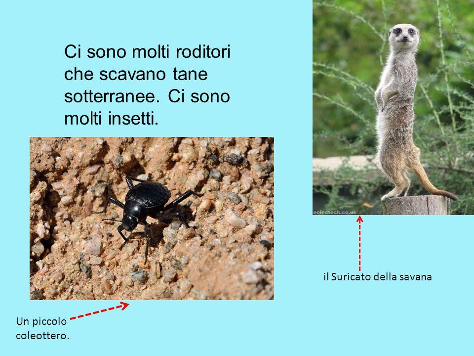 Ci sono molti roditori che scavano tane sotterranee. Ci sono molti insetti. il Suricato della savana Un piccolo coleottero.